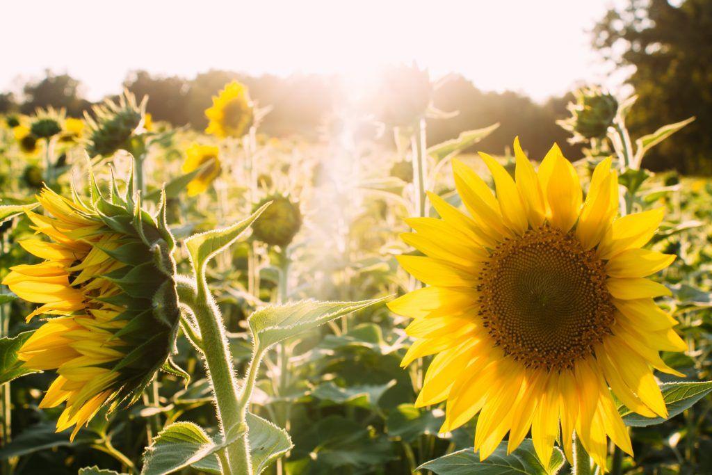 Ein feld von Sonnenblumen im Sonnenlicht